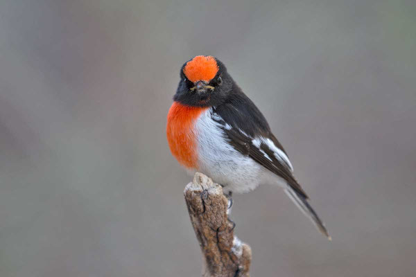 Rotstirn-Schnäpper, Red-capped robin, Petroica goodenovii - 8