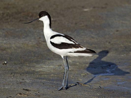 Säbelschnäbler (Recurvirostra avosetta)-cc-3