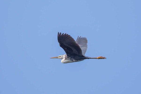 Elsterreiher (Egretta picata) - Pied heron - 1