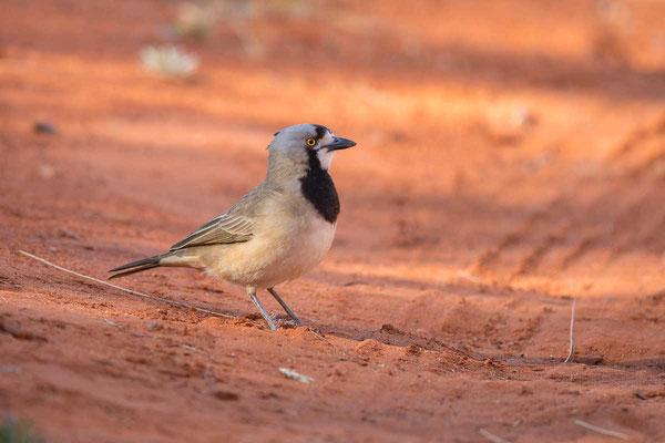 Haubendickkopf, Crested bellbird, Oreoica gutturalis - 3