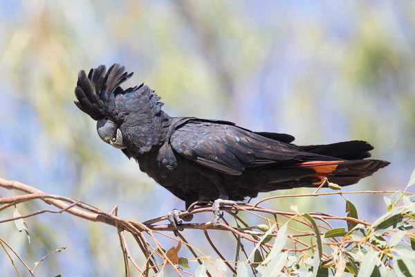 Banks-Rabenkakadu,  Red-tailed black cockatoo, Calyptorhynchus banksii - 1