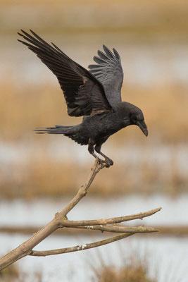 Kolkrabe (Corvus corax) - 2