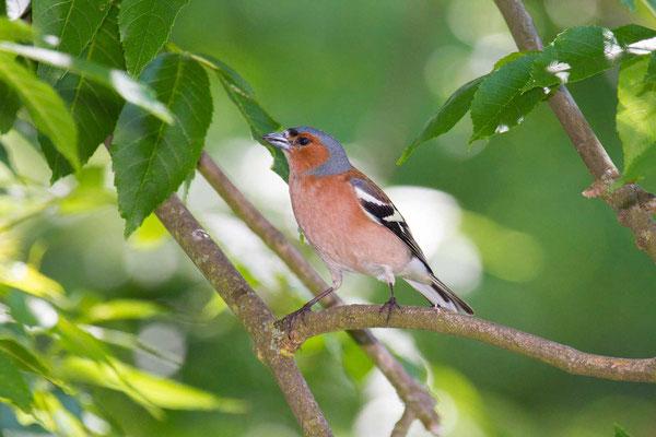 Buchfink (Fringilla coelebs) - Common chaffinch - 3