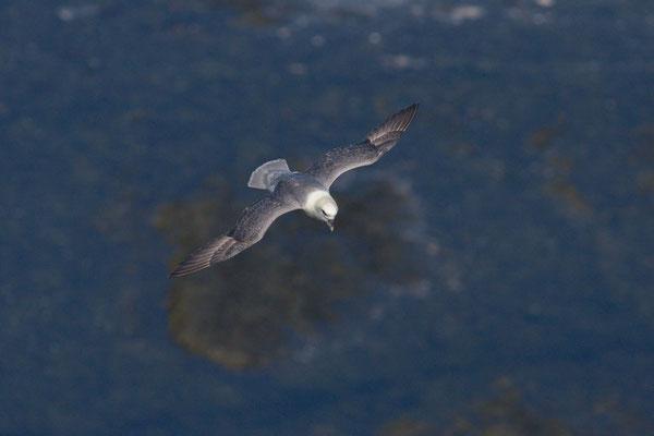 Eissturmvogel (Fulmarus glacialis) - 4