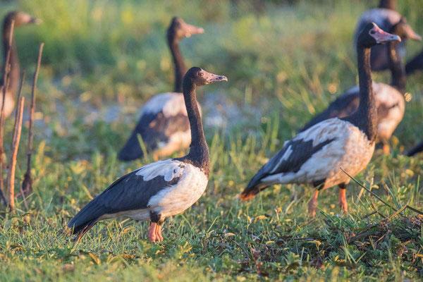 Spaltfußgans (Anseranas semipalmata) - Magpie goose - 3