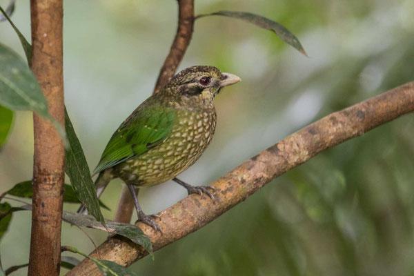 Schwarzohr-Laubenvogel (Ailuroedus melanotis) - 1