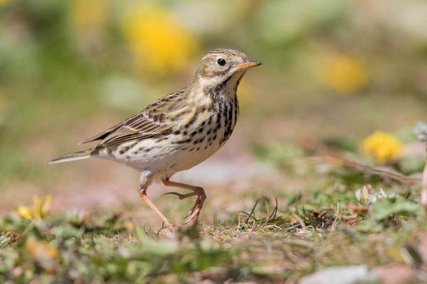 Wiesenpieper (Anthus pratensis) - Meadow Pipit - 12