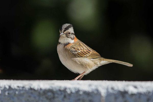 Morgenammer (Zonotrichia capensis) - Rufous-collared sparrow - 5