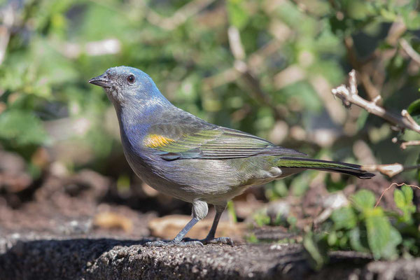 Schmucktangare (Thraupis ornata) - Golden-chevroned Tanager - 3