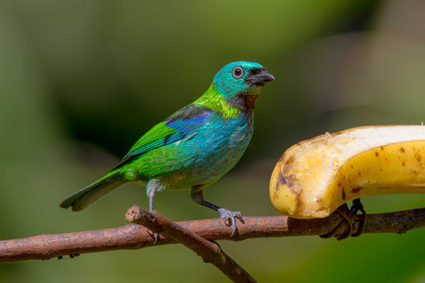 Dreifarbentangare (Tangara seledon) - Green-headed Tanager - 2