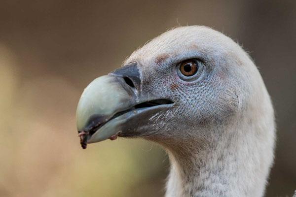 Gänsegeier (Gyps fulvus) - Griffon Vulture - 1
