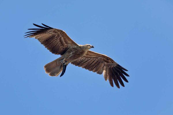 Keilschwanzweih, Whistling kite, Haliastur sphenurus - 7