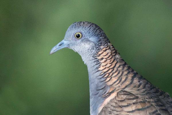 Kupfernackentaube (Geopelia humeralis) - Bar-shouldered dove - 5