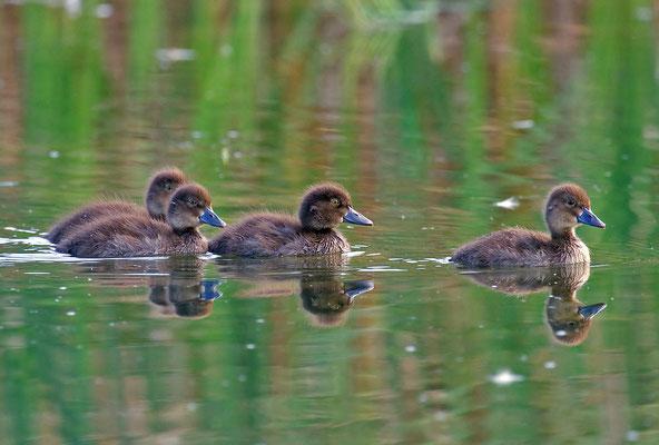 Reiherente,  Aythya fuligula, Tufted Duck - 18