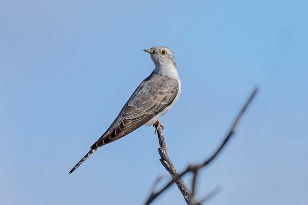 Blasskuckuck, Pallid cuckoo, Cuculus pallidus - 1