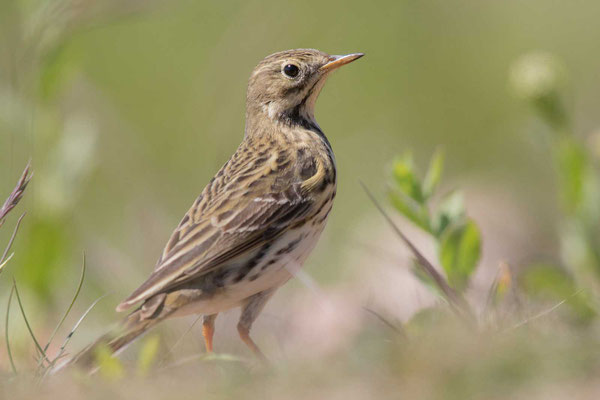 Wiesenpieper (Anthus pratensis) - Meadow Pipit - 7