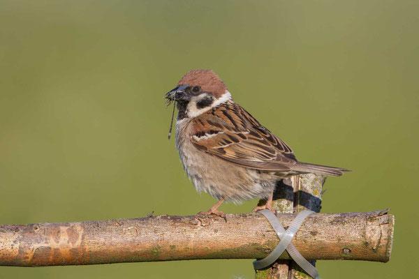 Feldsperling (Passer montanus) - Tree Sparrow - 5