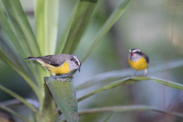 Zuckervogel (Coereba flaveola) - Bananaquit - 4