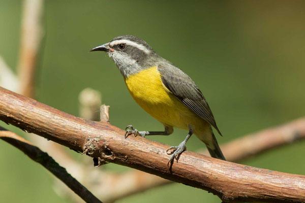 Zuckervogel (Coereba flaveola) - Bananaquit - 7