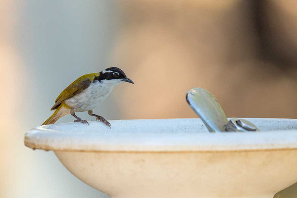 Weißkinn-Honigfresser, White-throated Honeyeater, Melithreptus albogularis - 1