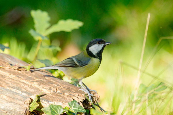 Kohlmeise (Parus major) - 4