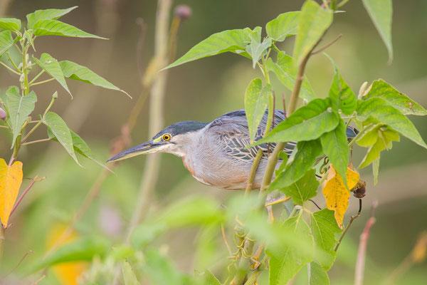 Mangrovereiher (Butorides striata) - Striated heron - 6