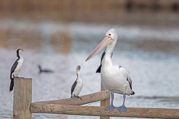 Brillenpelikan (Pelecanus conspicillatus) - Australian pelican - 5
