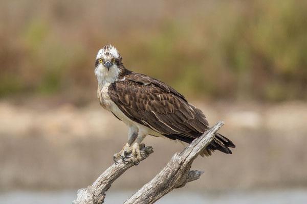 Fischadler (Pandion haliaetus) - 3