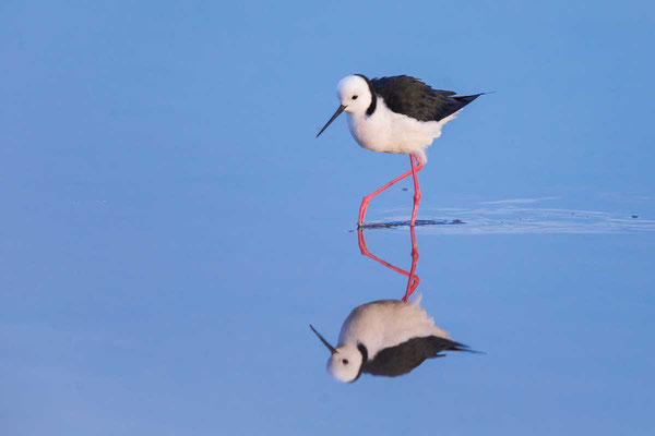 Weißgesicht-Stelzenläufer, white-headed stilt, Himantopus leucocephalus - 4