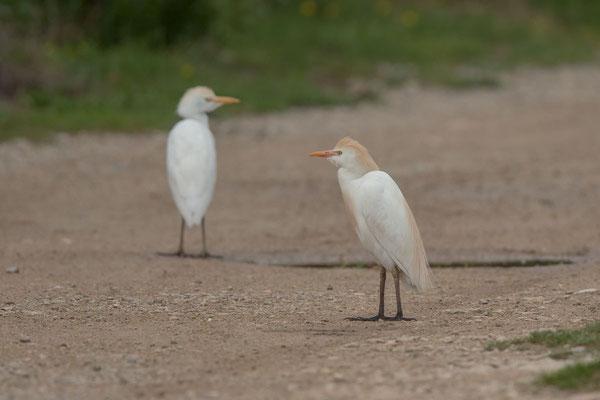 Kuhreiher (Bubulcus ibis) - 3