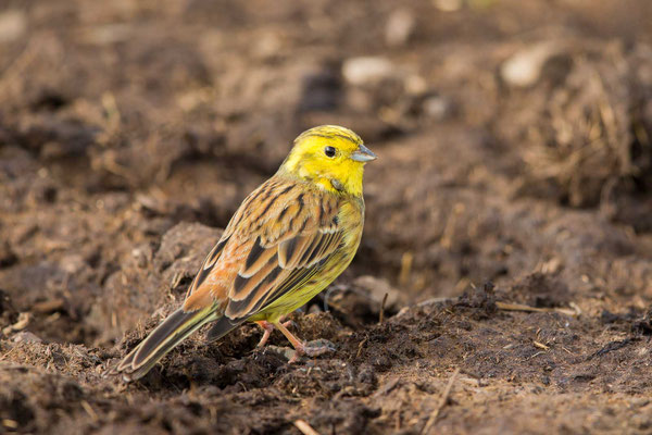 Goldammer (Emberiza citrinella) - Yellowhammer - 5