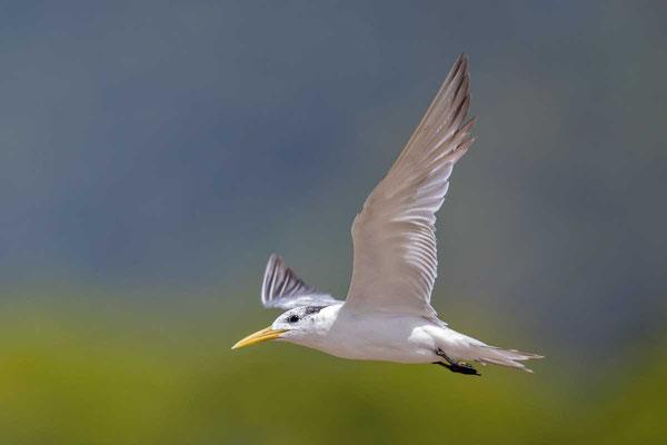 Eilseeschwalbe (Thalasseus bergii) - Greater crested tern - 3