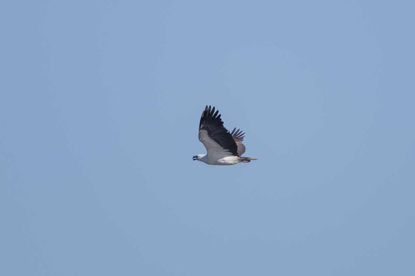 Weißbauch-Seeadler, White-bellied Sea-eagle, Haliaeetus leucogaster - 4