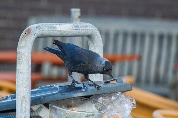 Dohle (Corvus monedula) - 2