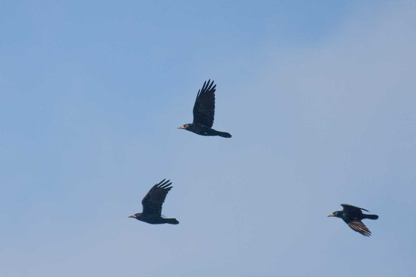 Saatkrähe (Corvus frugilegus) - 3