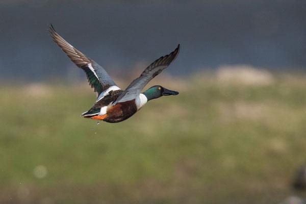 Löffelente - 3 - Männchen im Flug