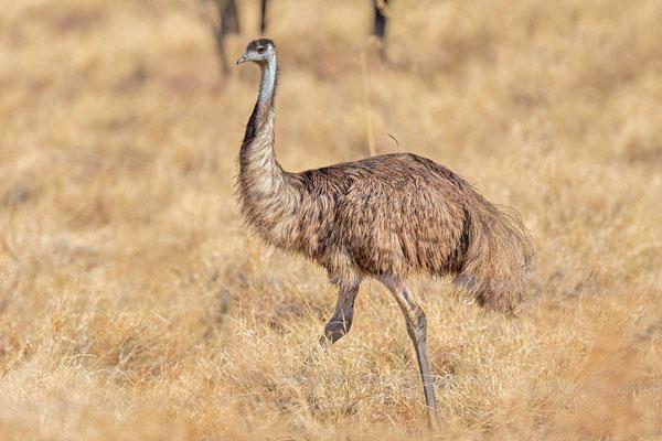 Emu (Dromaius novaehollandiae) - 1