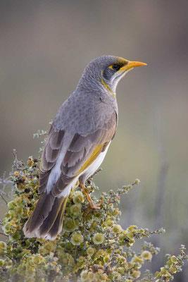 Gelbstirn-Schwatzvogel, Yellow-throated Miner, Manorina flavigula - 4
