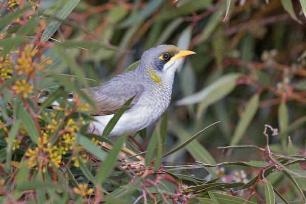 Gelbstirn-Schwatzvogel, Yellow-throated Miner, Manorina flavigula - 5