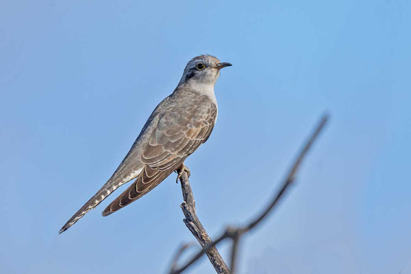 Blasskuckuck, Pallid cuckoo, Cuculus pallidus - 2