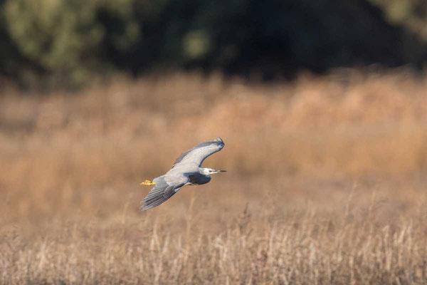 Weißwangenreiher (Egretta novaehollandiae) - White-faced heron - 1