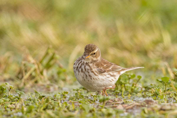 Bergpieper, Water pipit, Anthus spinoletta - 2