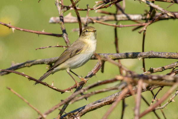 Fitis (Phylloscopus trochilus) - Willow Warbler - 1