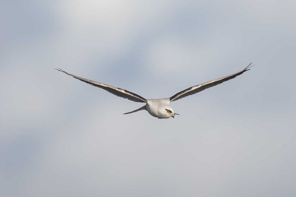 Australischer Gleitaar, Black-shouldered Kite, Elanus axillaris - 2