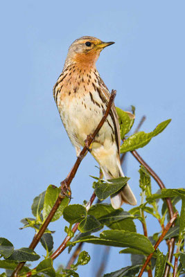 Rotkehlpieper (Anthus cervinus) - Red-throated Pipit - 1