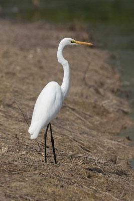 östlicher Silberreiher (Ardea modesta) - Eastern great egret - 2