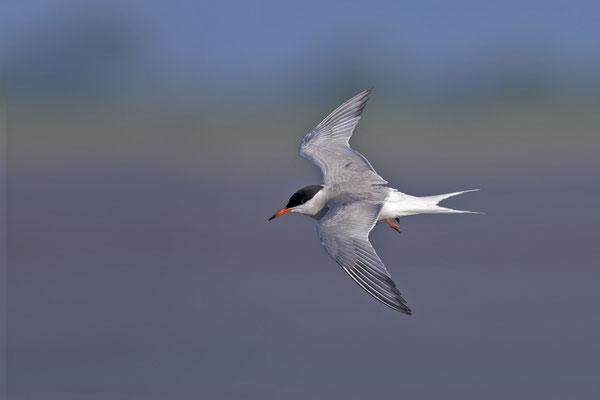 Fluss-Seeschwalbe (Sterna hirundo) - 11