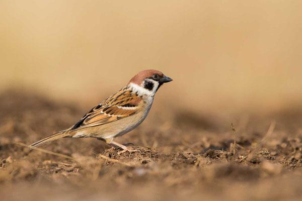 Feldsperling (Passer montanus) - Tree Sparrow - 11