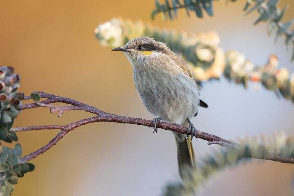 Pfeifhonigfresser Singing Honeyeater - Gavicalis virescens - 1