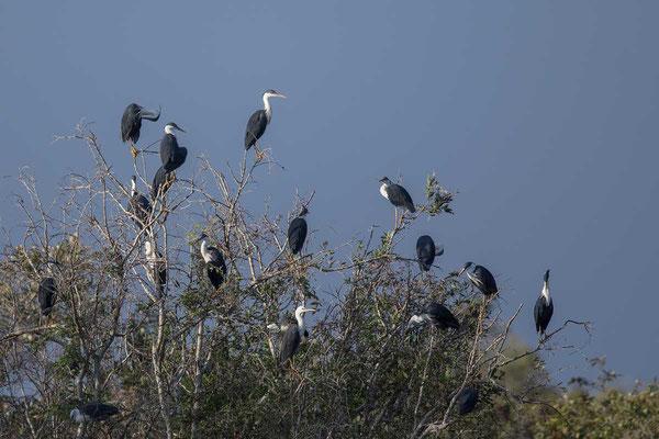 Elsterreiher (Egretta picata) - Pied heron - 2